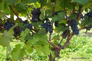 Weinreben in Baden