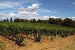Weinberg bei Montalcino