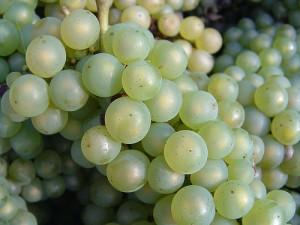 Chardonnay-Trauben
