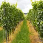 In den Weinreben