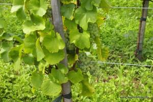 Nachhaltigkeit und biologischer Anbau stehen beim Weingut Schlumberger ganz oben