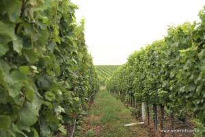 Weinlandschaft in der Pfalz