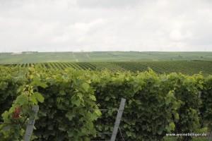 Weinreben in Rheinhessen