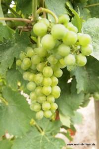 Besonders Rieslinge und Müller-Thurgau-Weine kommen aus Rheinhessen