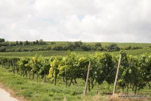 Weinberg des Weingut Hauck