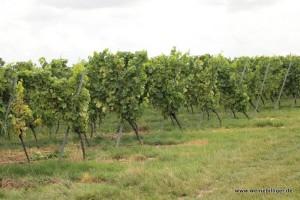 Weinberg des Weingut Winter