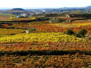 Weinreben in La Rioja