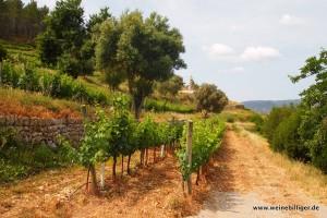 Weinreben entlang der typischen Trockensteinmauern